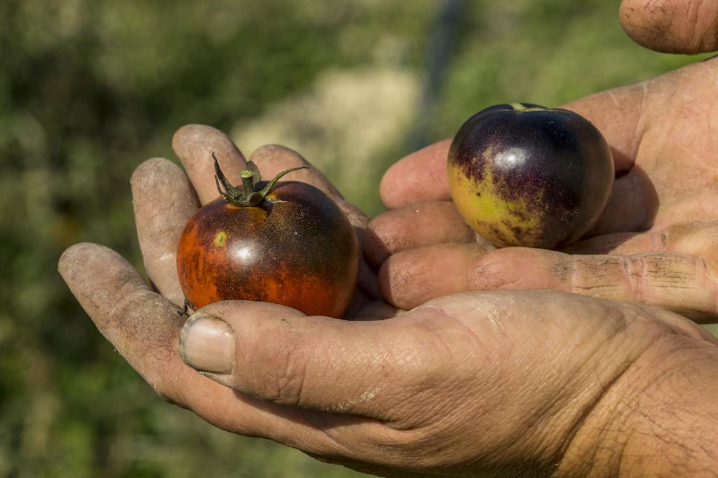 L'Orto Antico di Senigallia: un patrimonio di biodiversità tutto marchigiano
