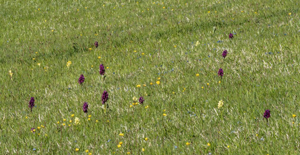 Piani di Ragnolo Orchidee2
